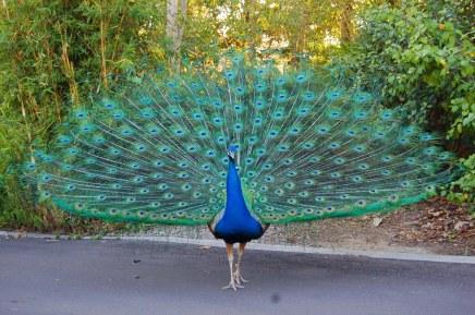 peacock-03